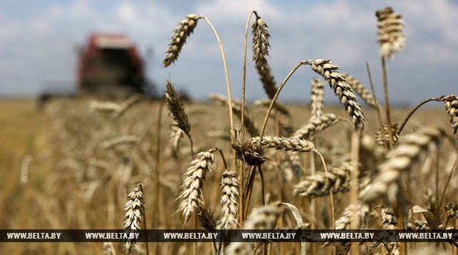 Созревшее поле зерно