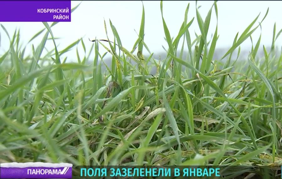 Поля зазеленели возле Кобрина